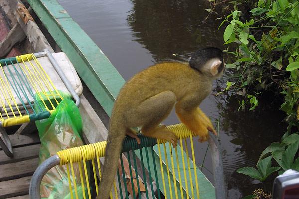 En abe i Amazonas
