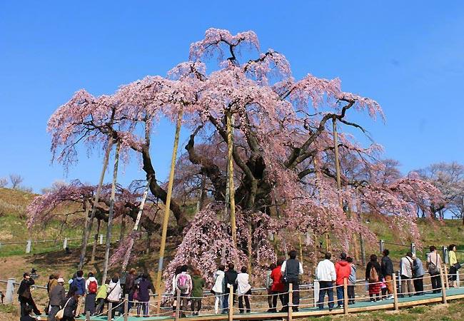 Miharu Takizakura-træet i Japan
