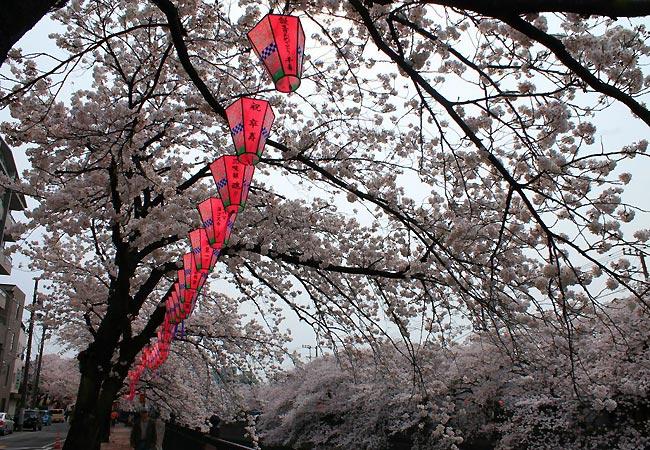Kirsebærblomster og lanterner