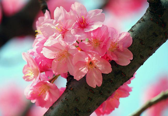 Kirsebærblomster i Japan