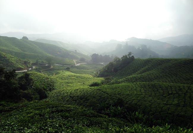 Udsigt over te-marker i Cameron Highlands, Malaysia