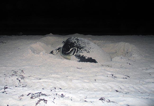 Skildpadde lægger æg på en strand på Yucatán halvøen i Mexico