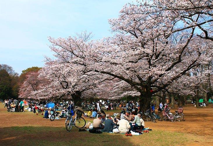 Blomstrende kirsebærblomster i Japan