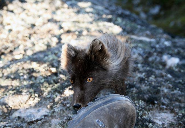 Der duftes til støvle ved Ilulissat